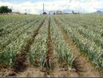 A garlic field in California