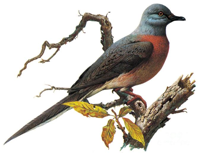 passenger-pigeon-photo-researchers-