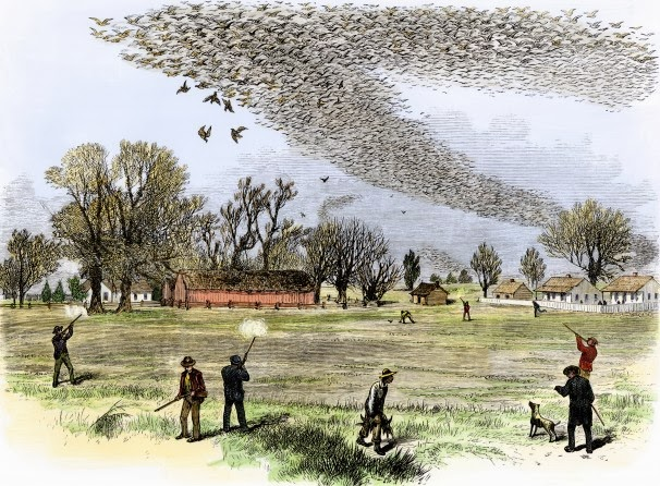 passenger-pigeons_woodcut-from-the-1870s-shows-passenger-pigeons-being-shot-in-Louisiana