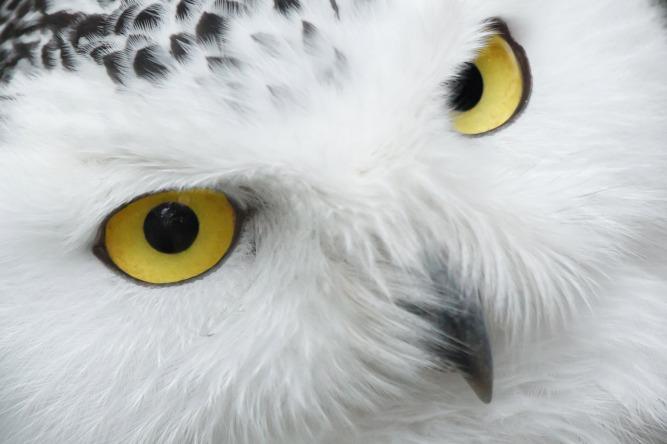 snowy-owl-eyes-11294429118HIj