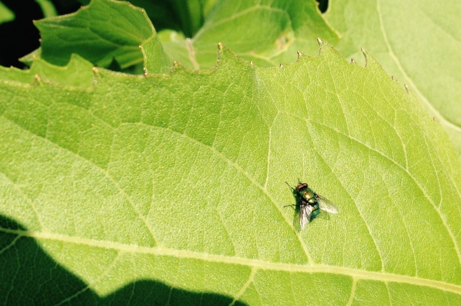 I photographed and ID'ed this is a long-legged fly.  Adult flies consume thrips, aphids, a variety of other small insects and, of course, spider mites (which by the way, are not insects, but belong to the spider family).