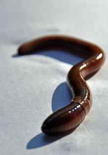 worm_med