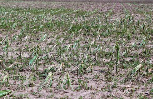 corn_field_hail_6-24-14