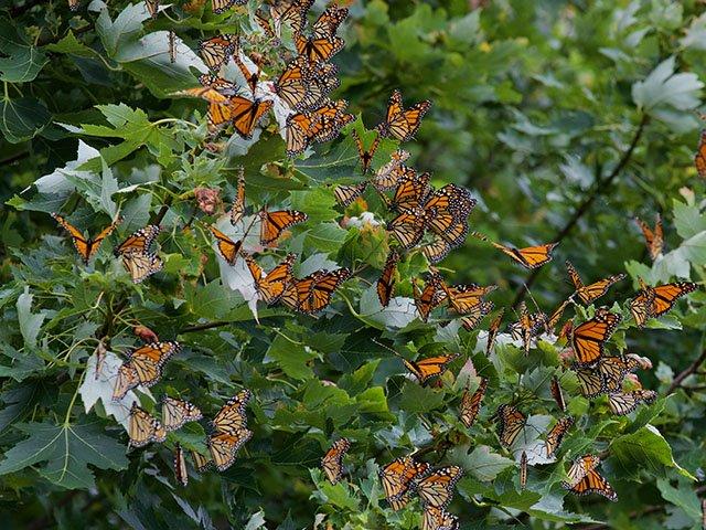 News-Monarchs-crArleneKoziol-09192019 2